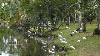 White Ibises gather at the Fairchild Tropical Botanic Garden, in Coral Gables, Florida.