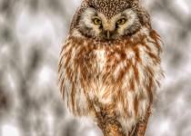 Bog-Boreal-Owl-sm