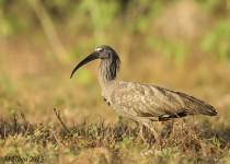 Plumbeous Ibis, Pouso Alegre Lodge, Pantanal, Brazil