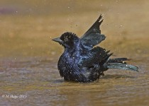 Chopi Blackbird, Mato Grosso State, Brazil