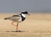 Pied- Lapwing, Encontro das Aquas State Park, Mato Grosso, Brazi