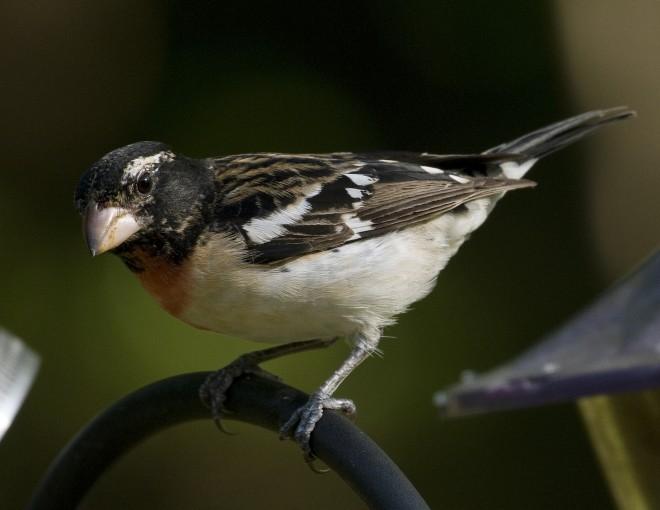 Rose-breasted Grosbeak - BirdWatching