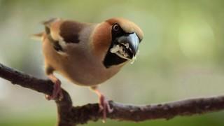 Hawfinch ©2015 Alzira Alaniz