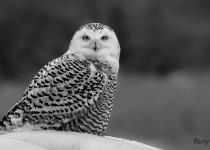 Snow-Owl-3-164-BX-CR-BW-NR-SM-1