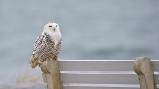 Snowy Owl on bench_660x440