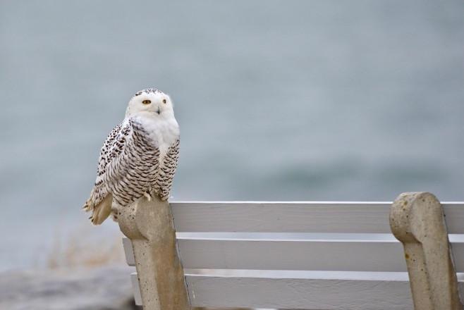 10 photos of enigmatic, irruptive Snowy Owls