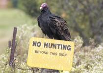 TV-no-hunting-turkeyvulture_0116