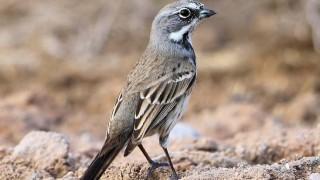Bells-Sparrow11