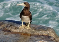 Brown-Booby