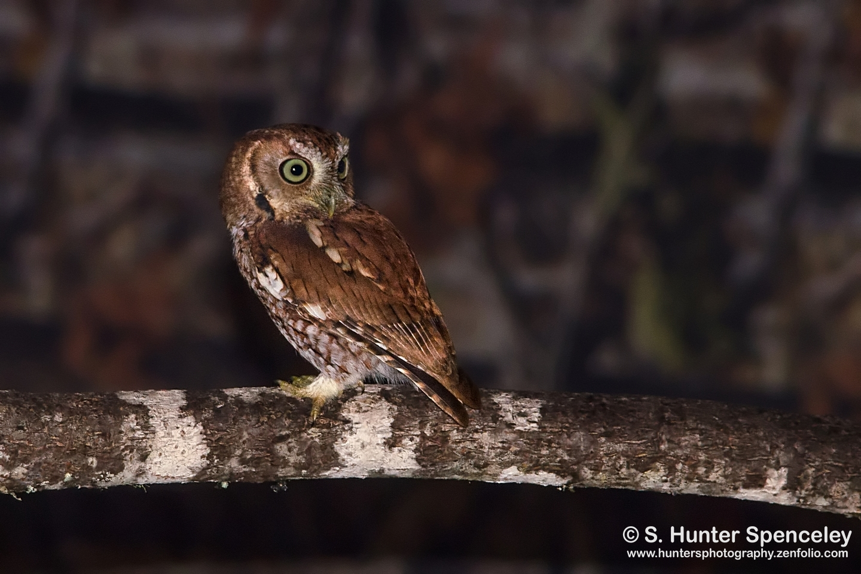 Eastern Screech-Owl - BirdWatching