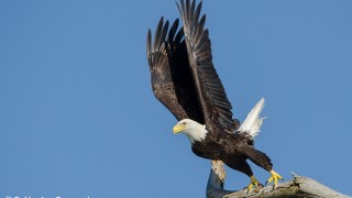 DSC0341-Bald-Eagle