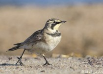 Horned Lark, Prince Albert National Park, Saskatchewan