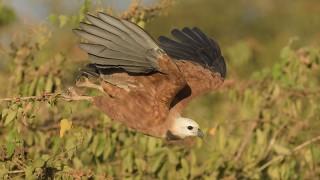 Black-collared Hawk, Pousada Rio Claro, Mato Grosso, Brazil