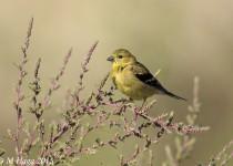 American Goldfinch, near Floral, Saskatchewan