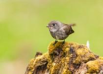 Dark-Sided-Flycatcher