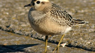 Eurasian Dotterel, juvenile, by Mark Jobling (Wikimedia Commons).