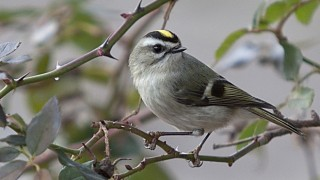 Golden-crowned Kinglet by docdpp.