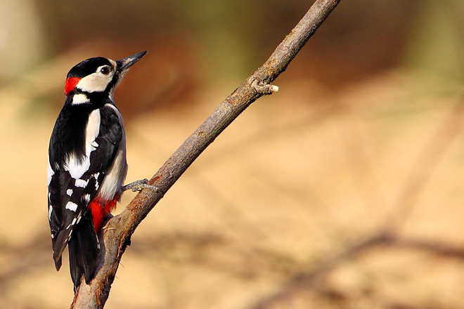 A gallery of woodpeckers in Europe
