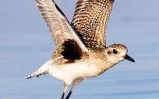 Fold-out quick-reference ID guides to waterfowl, shorebirds, and raptors
