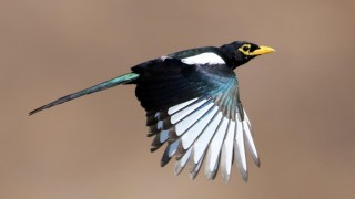 Yellow-billed-Magpie2