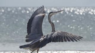 heron-strutting-resized