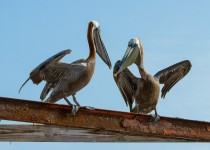pelicans_playing-0092