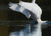 08_swan_wing_flap-0083