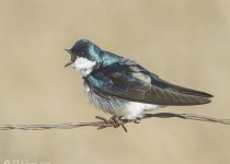 Tree Swallow, Highway #60 and Valley Road, Saskatchewan