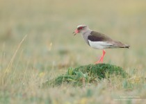 Andean_Lapwing_calling_anti