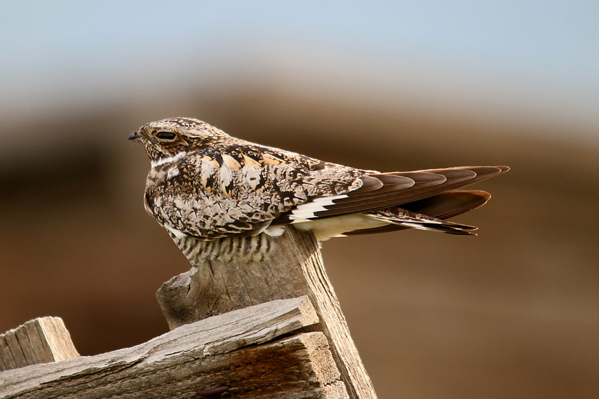 Urban crows rob rooftop nests of Common Nighthawk