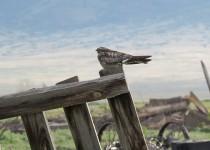 Common-Nighthawk-Everson-Ranch-7-2-15-7-200PI