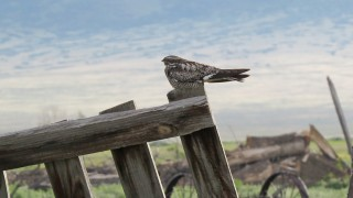 Common-Nighthawk-Everson-Ranch-7-2-15-7-200PI