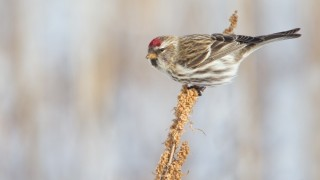 Common Redpoll at Lorain Impoundment, on the Lake Erie shore in Ohio, January 17, 2015, by Joshua Clark.
