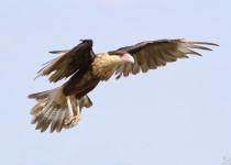 Crested-Cara-Cara-3832birdwatching