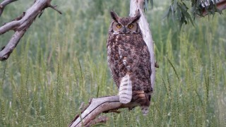 Great-Horned-Owl-Everson-Ranch-7-2-15-4-200PI