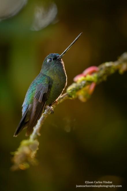 Green-fronted-Lancebill