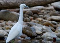 Imm-LB-Heron-1-Boise-River-Nov-2015