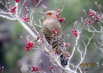 Northern-Flicker-Magnolia-springs-State-Park-Millen-Georgia-4