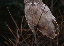 Pale-Great-Gray-Owl-1