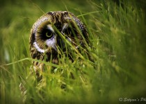 Pueo-Owl-in-Tall-Grass-November-2015-Version
