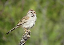 Rufous-Winged-Sparrow-Case-Park-4-22-15-1-200PI
