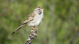 Rufous-Winged-Sparrow-Case-Park-4-22-15-2-200PI