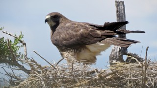 Swainsons-Hawk-NEST-Rd-65-Loop-7-3-15-2-200PI