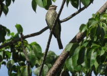 Very-Rare-Variegated-Flycatcher-at-Evergreen-Cemetery-Broward-County-FL-4