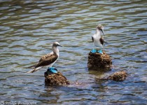 blue-footed