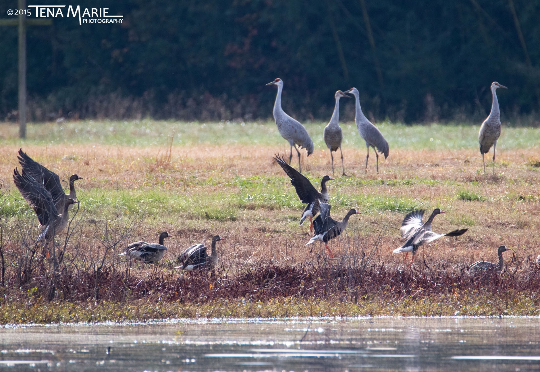 Greater White-fronted Geese and Sandhill Cranes