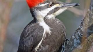pileatedwoodpecker3993-copy