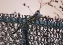 scissor-tailed flycatcher 11-1-15