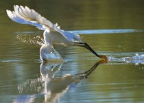 Snowy Egret ©2015 Pamela Parker