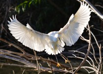 snowy-egret-landing